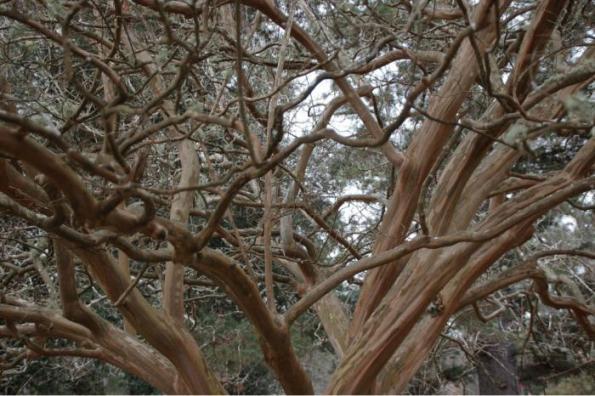Árboles resistentes al viento 2