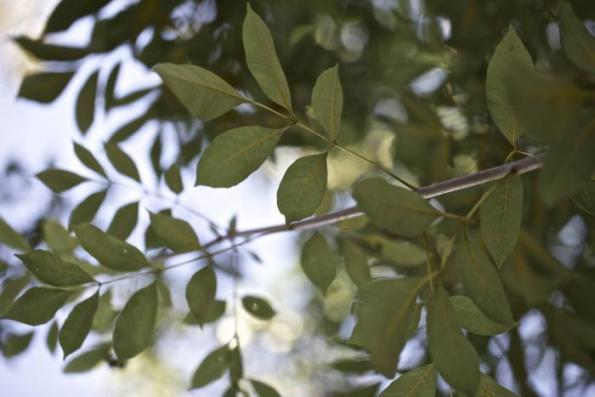 Árboles resistentes al viento 3