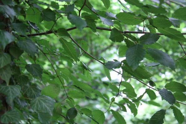 Árboles resistentes al viento 5