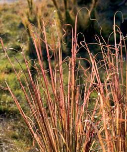 Nueve inusuales hierbas ornamentales 4