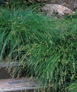 Nueve inusuales hierbas ornamentales 6