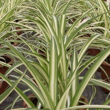 Plantas purificadoras del aire 3
