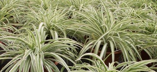 Plantas para purificar el aire Plantas limpiadoras de aire