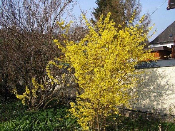 Arbustos de floración invernal1