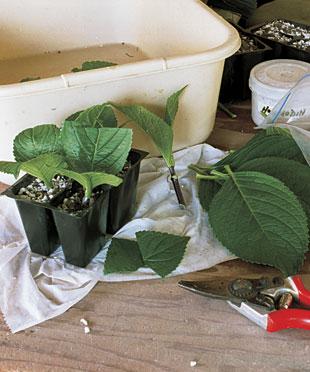 Reproducción de arbustos por esquejes 1
