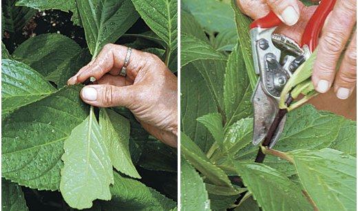 Reproducción de arbustos por esquejes 2