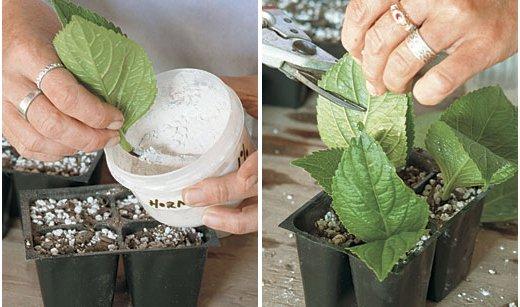 Reproducción de arbustos por esquejes 4