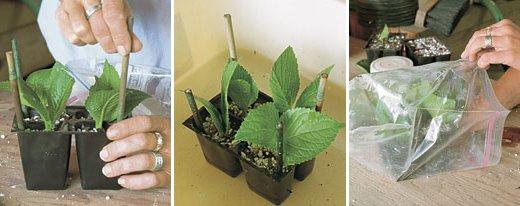 Reproducción de arbustos por esquejes 5