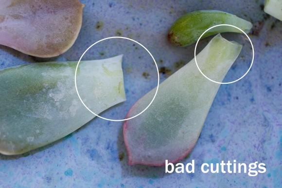 Cómo reproducir las suculentas1