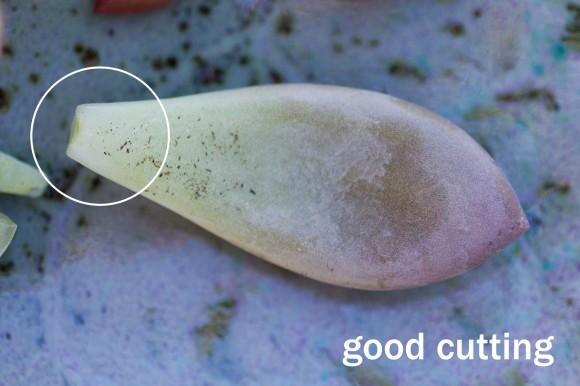 Cómo reproducir las suculentas2