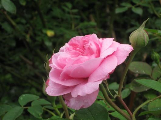Mancha negra del rosal 1