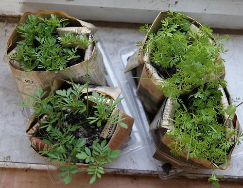 aclimatar plantones