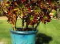 imagen Aeonium arboreum, una suculenta arbustiva