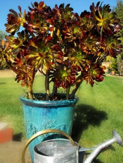 La Aeonium arboreum 1