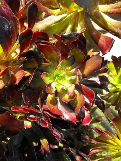 La Aeonium arboreum 2