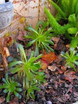 La Aeonium arboreum 3