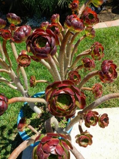 La Aeonium arboreum 4