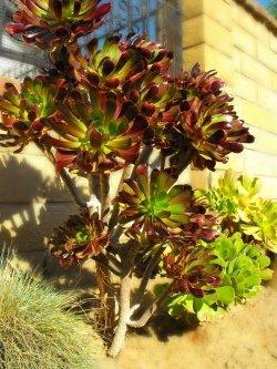 La Aeonium arboreum 6