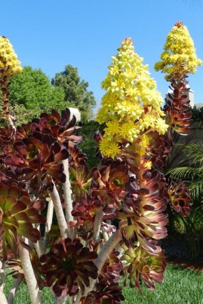La Aeonium arboreum 7