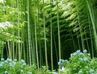 imagen Cómo cultivar bambú