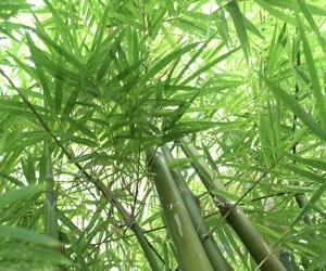 cultivar bambú 2