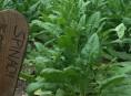 imagen Cultivo de la espinaca