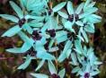 imagen Cultivo de la ixia viridiflora