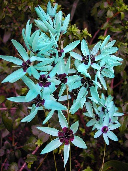 Cultiva la bulbosa ixia viridiflora 1