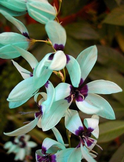 Cultiva la bulbosa ixia viridiflora 2