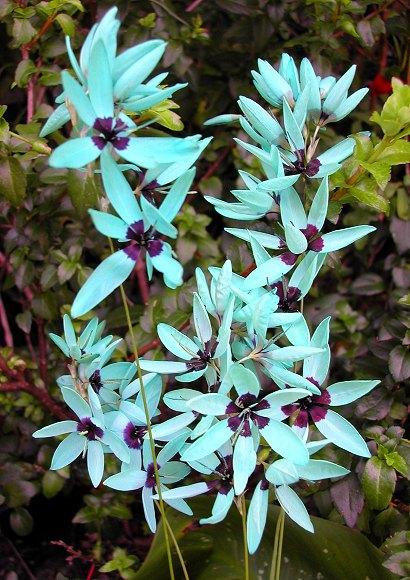 Cultiva la bulbosa ixia viridiflora 3