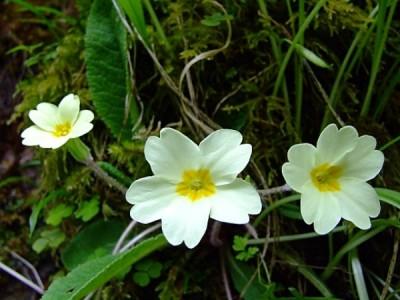 Cultivar la primula vulgaris o primavera 1