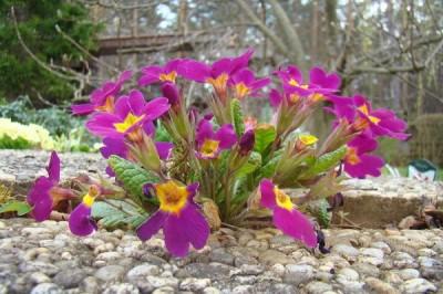 Cultivar la primula vulgaris o primavera 2