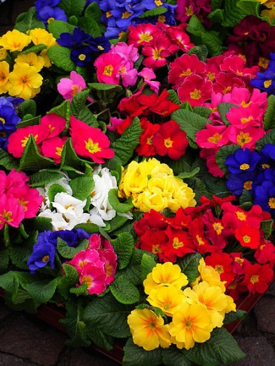 Cultivar la primula vulgaris o primavera 3