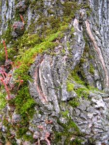 Musgos y líquenes en los árboles2