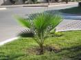 imagen Trasplantar palmeras