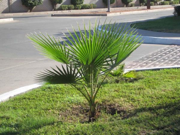 Trasplante de palmeras