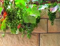 imagen Un viñedo en el balcón