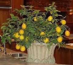 Limonero en maceta 3
