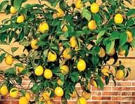 imagen El cultivo del limonero en maceta