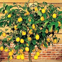 Limonero en maceta 02