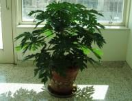 imagen Cultivo de papaya en interior