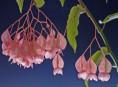 imagen Cultivo y cuidados de la begonia maculata