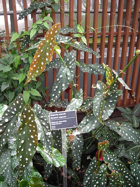 begonia maculata 02