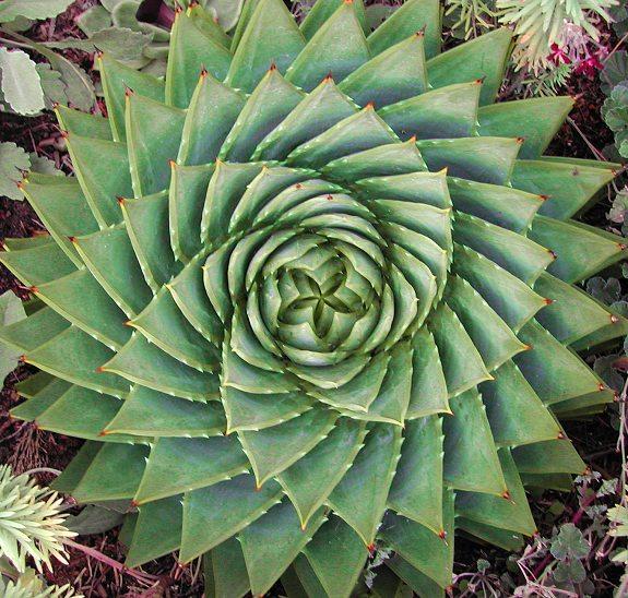 El aloe espiral2