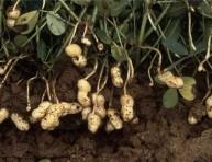 imagen El cultivo del cacahuate, maní o cacahuete