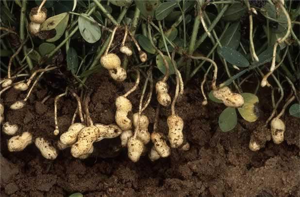 Cultivar maní1