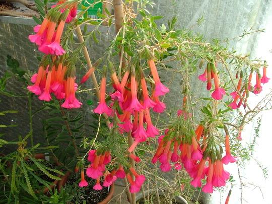Flor del inca 2
