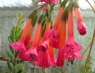 imagen La cantuta o flor sagrada de los incas