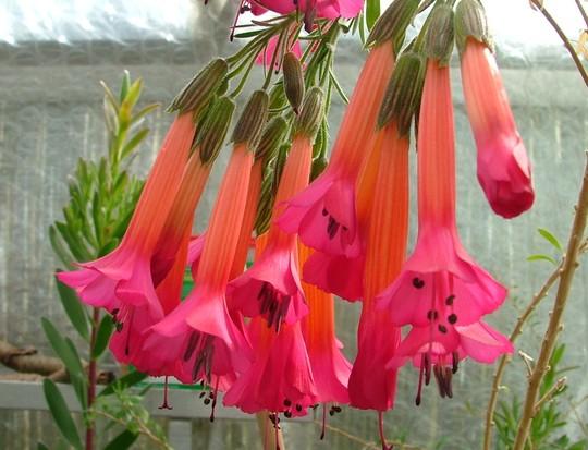 Flor del inca 3