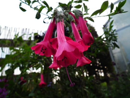 Flor del inca 5